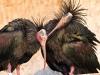 Ibis adulti