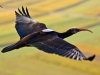 Ibis che migra verso la Toscana