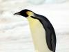 Pinguini imperatore in Antartide