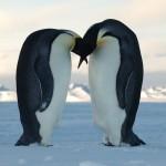 Cambiamenti climatici: il Pinguino imperatore si adatta