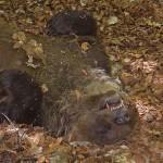 Orso marsicano morto: non si esclude nessuna ipotesi, neanche il colpo d'arma