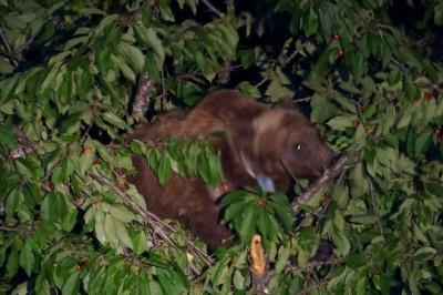 L'orsa Gemma ad un albero di ciliege, video ripresa qualche settimana fa