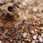 Riscaldamento globale: formiche alleate contro anidride carbonica
