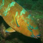 Barriere coralline dei Caraibi in pericolo: per salvarle ricci e pesci pappagallo