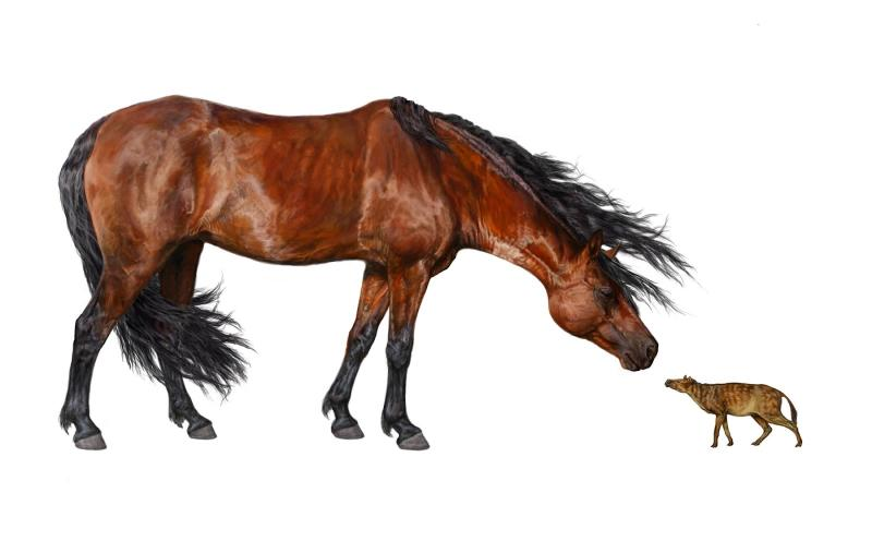 Confronto tra Hyracotherium (a destra) e cavallo moderno                                            (fonte: Danielle Byerly, Università della Florida)