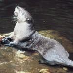 La lontra in Italia: fra speranze di ripresa e molte minacce