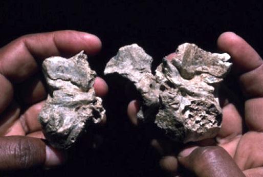 Base cranica di Ardipithecus ramidus, antica di 4,4 milioni di anni (credit: Tim White)