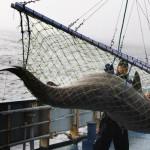 Grandi quantità di sostanze tossiche negli squali della Groenlandia