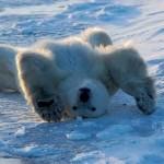 Condizioni artiche critiche per gli orsi polari entro la fine del 21° secolo