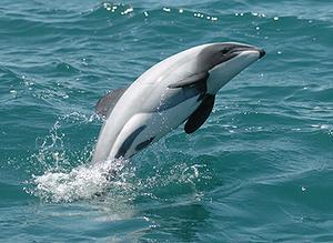 Delfino di Maui