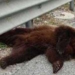 L'orso marsicano muore sull'autostrada: <br> ecco cosa succede in Abruzzo