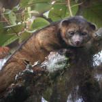 Scoperto un nuovo mammifero: l'Olinguito