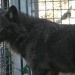 Ibrido cane-lupo: come avanza il lavoro del Life Ibriwolf