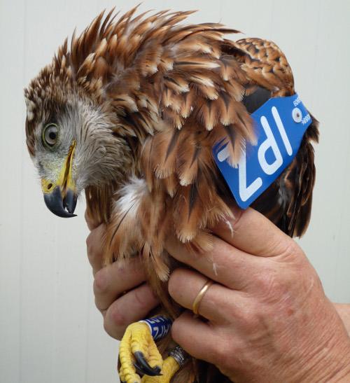 Zaira, pronta per il rilascio nel Parco della Gola della Rossa e di Frasassi  Foto per gentile concessione di Save the Flyers