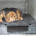 Lettera aperta sui cani alla catena in Piemonte