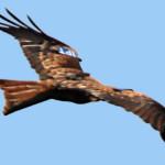 Save the Flyers: liberati 13 nibbi reali