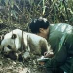 Nel sangue dei panda antibiotico 6 volte più potente di quelli attuali
