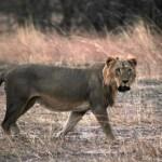 Nuovo studio rivela la rapida scomparsa dei leoni in Africa