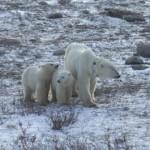 Vita dura per gli orsi polari a causa del cambiamento climatico
