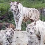 Risolto il mistero delle tigri bianche