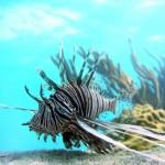 L'invasione dei pesci scorpione che minaccia di far scomparire le barriere coralline