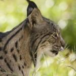 Lince iberica seriamente minacciata dai cambiamenti climatici