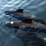 Balene e pipistrelli hanno un sonar in comune