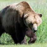 Orso marsicano ucciso in autostrada: potrebbe avere scavalcato
