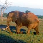 Mali: guerra civile minaccia gli elefanti in via di estinzione