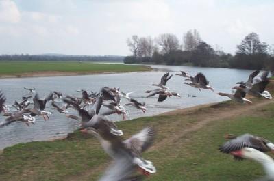 Aviaria_uccelli