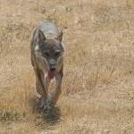 Parco Nazionale d'Abruzzo: strage di lupi, 11 da gennaio