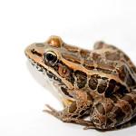 Può la biologia sintetica salvare la fauna selvatica?