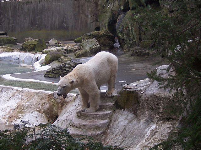 orso polare in uno zoo