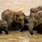 Studio prova che gli elefanti si consolano l'un l'altro