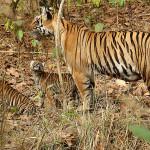 India: popolazione si trasferisce per lasciare spazio alle tigri