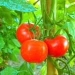 Dieta ricca di pomodori può ridurre il rischio di cancro al seno