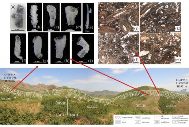 In basso: Sezione della Formazione Linxi nella Mongolia Interna, databile al Permiano superiore. In alto A sinistra: a), b), f)  gambi di briozoi; c), d), g), h), i) briozoo zooecium; e) spicole di spugna. A destra: j), K), l), m) alghe cementate con briozoi.  (crediti: Science China Press)