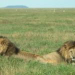 La caccia sostenibile che salva i leoni