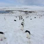 Cambiamenti climatici: il futuro incerto dei pinguini di Adelia