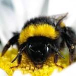 Declino delle api: i virus si trasmettono dalle api allevate a quelle selvatiche