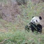 Competizione fra panda e cavalli: <br>una storia che si ripete in tutto il mondo