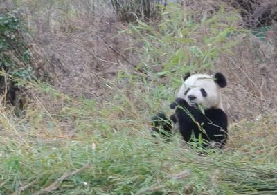 Cavalli_panda