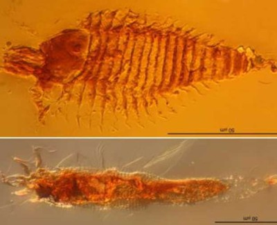 Acari in una gocciolina di ambra del Triassico