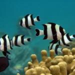 Barriere coralline e CO2: i pesci non scappano dai predatori