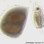 Dimostrati effetti nocivi dei pesticidi sulla riproduzione in organismi acquatici