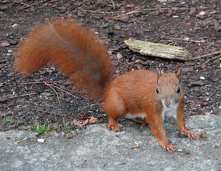 Che futuro per lo scoiattolo rosso?