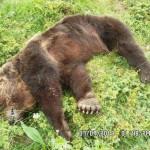 Orso marsicano: spunta l'ipotesi veleno, potrebbe non essere stato ucciso a fucilate
