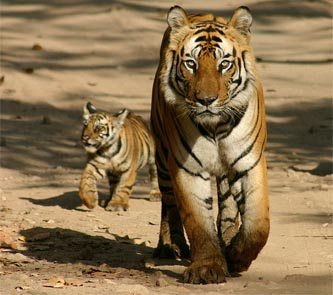 La tigre in India sulla via della salvezza