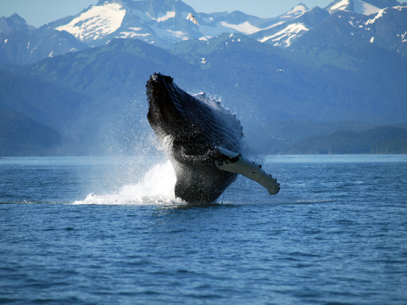Megattera in Alaska Wikimedia / Gillfoto