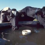 USA: acque inquinate dal fracking per abbeverare animali